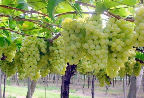 Красавец Плевен на винограднике