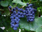 сорт винограда черныш