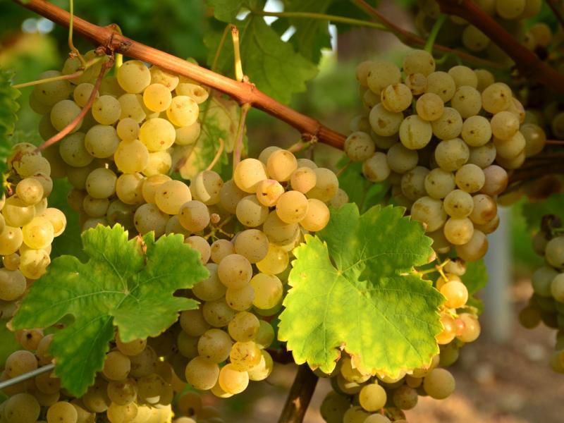 Виноград богатяновский — Ягоды грибы