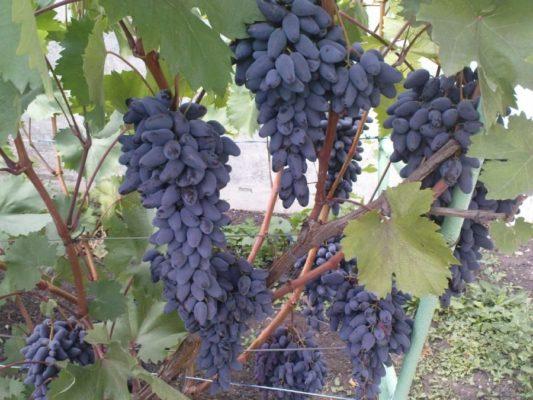 Грозди винограда Памяти Негруля