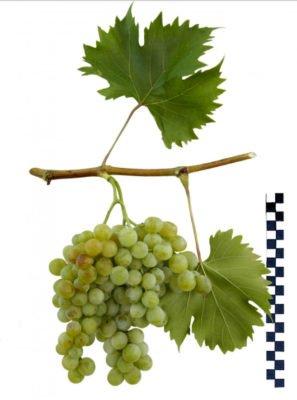 Ветка винограда сорта Дружба