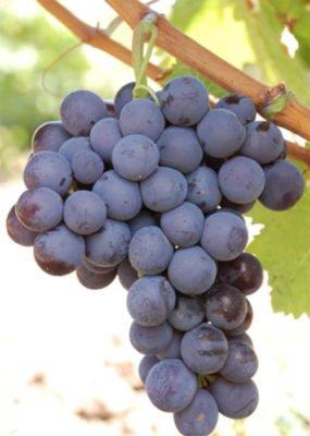 Гроздь винограда сорта Мускат гамбургский