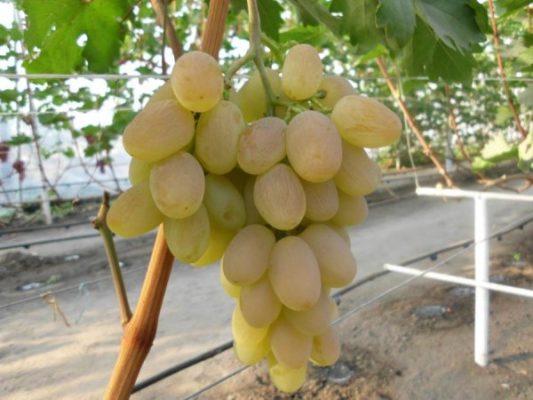 Любительский сорт В. Н. Крайнова — виноград Богатяновский
