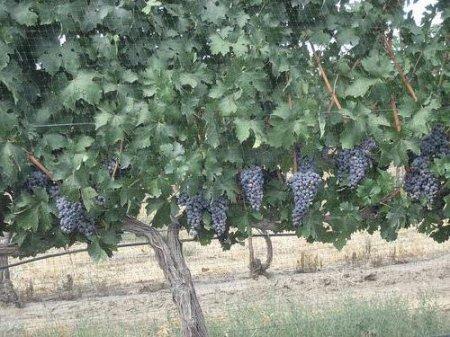 Штамбовая форма винограда
