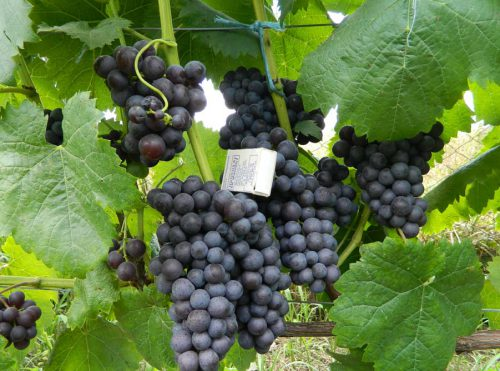Виноград Фиолетовый ранний на лозе