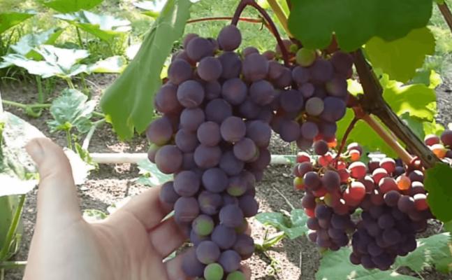 Гроздь винограда Фиолетового раннего с крылом