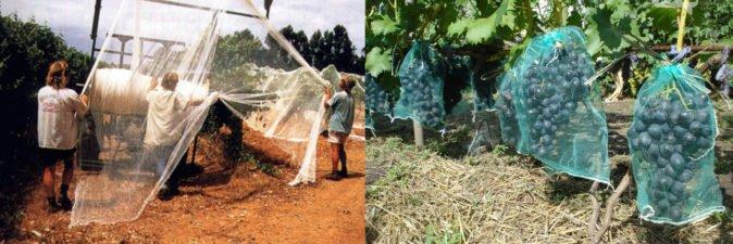 Способы защиты винограда сетками
