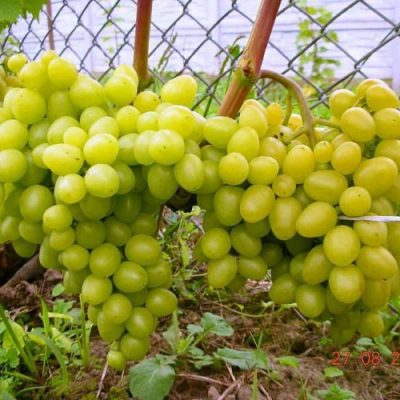 Ягоды винограда Настя