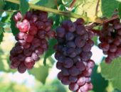 Виноград сорта Лидия.