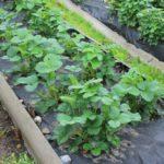 Двухрядная посадка садовой земляники в грядку