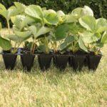 Рассада садовой земляники с закрытой корневой системой