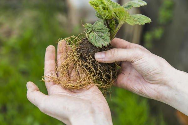Корни садовой земляники