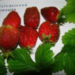 Сорт садовой земляники Фестивальная ромашка