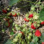 Сорт садовой земляники Кокинская ранняя