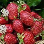 Сорт садовой земляники Львовская ранняя