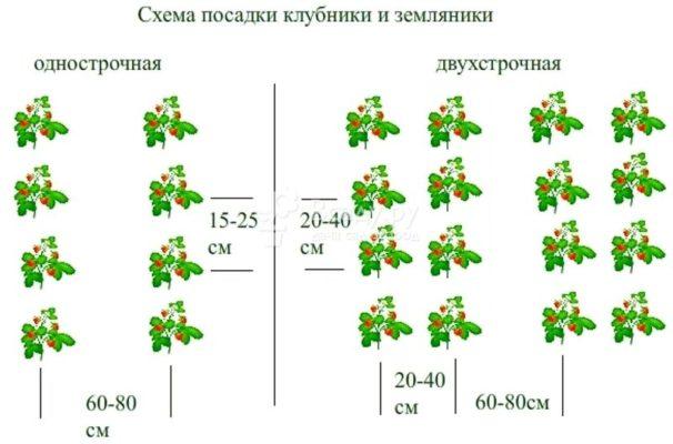 Традиционная схема посадки садовой земляники