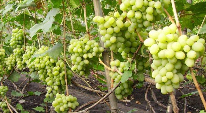 Сорт винограда Подарок Запорожью