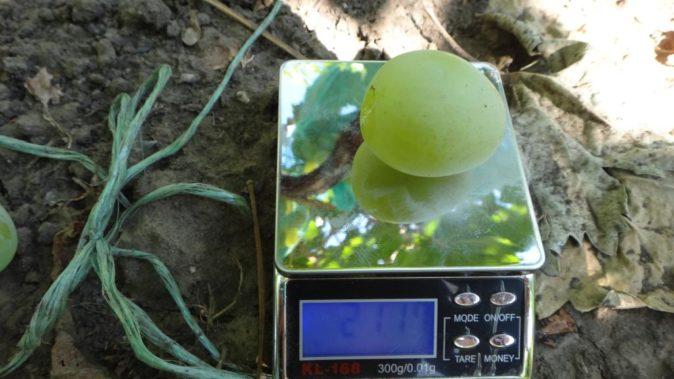 Ягода винограда Богатяновского на весах