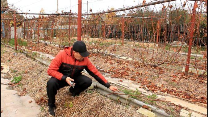 Подготовка винограда к зиме
