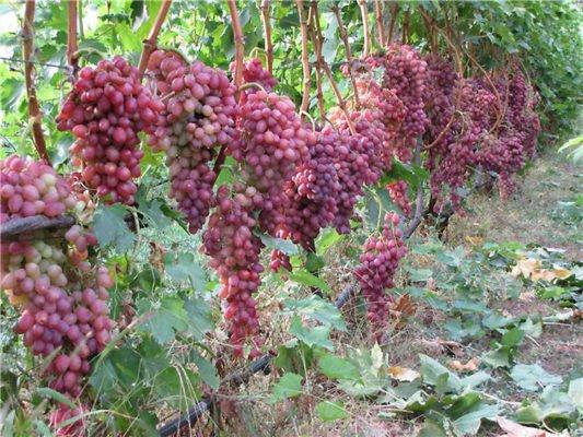 Урожай Кишмиш