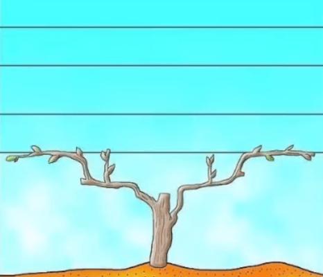 Двухрукавная форма винограда