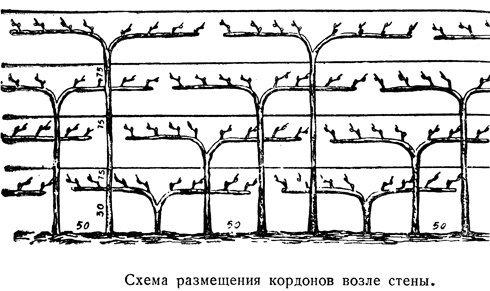 Кордонная форма винограда