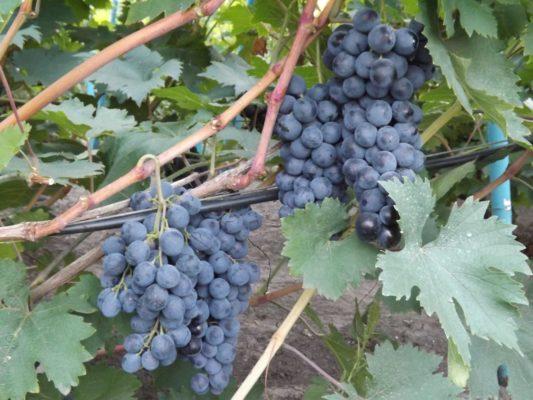 Кисти винограда Страшенский