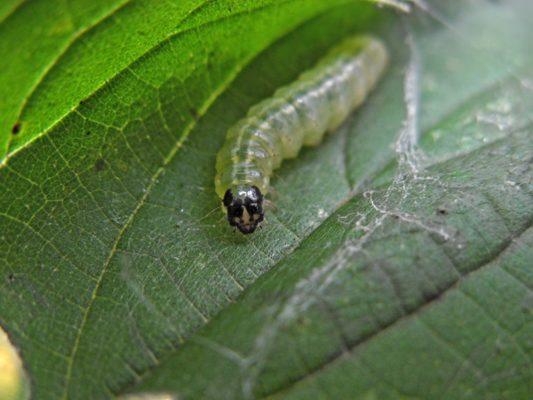 Гусеница листовёртки