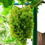 Гроздь винограда Русбол