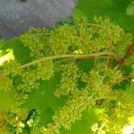 Цветки винограда сорта Русбол