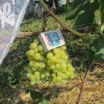 Ягоды винограда сорта Русбол