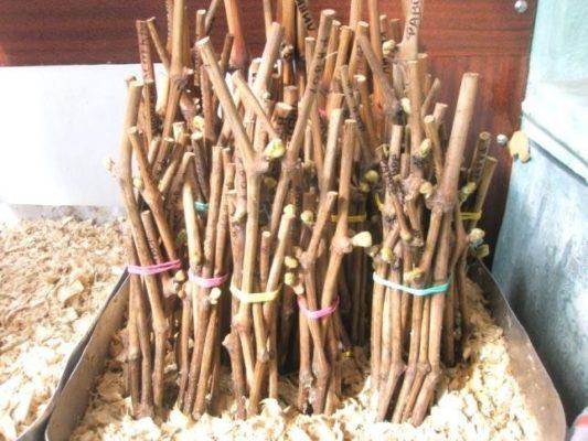 Хранение чубуков