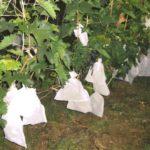Грозди винограда в мешочках