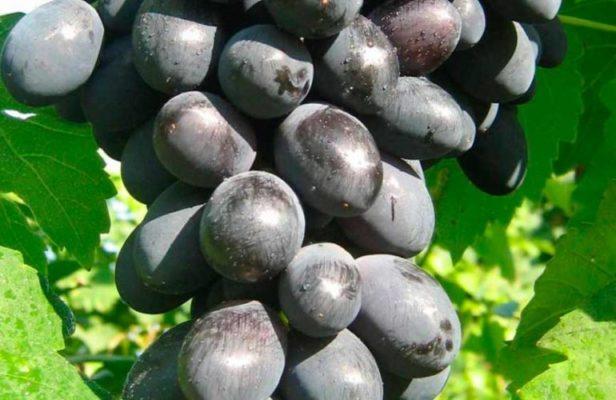 Ягоды винограда Муромец