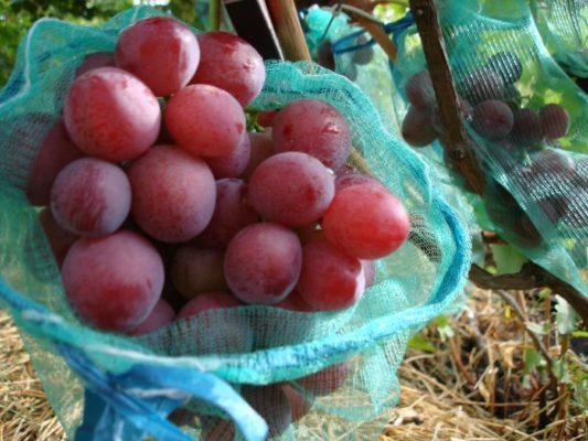 Гроздь винограда сорта Алиса