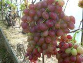 Виноград сорта Амирхан