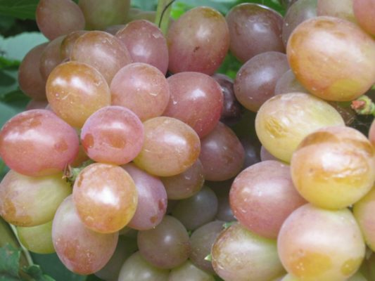 Спелые ягоды Амирхана