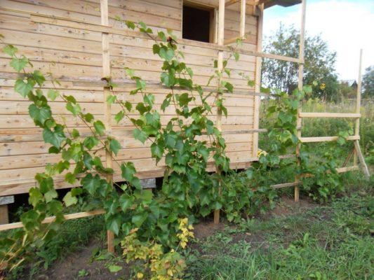 Куст винограда у стены дома