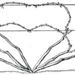 Веерная бесштамбовая формировка при укрывном выращивании