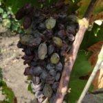 Усохшая от оидиума гроздь винограда