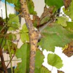 Оидиум на виноградной лозе