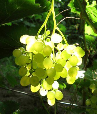 Пасынковая гроздь винограда сорта Русбол