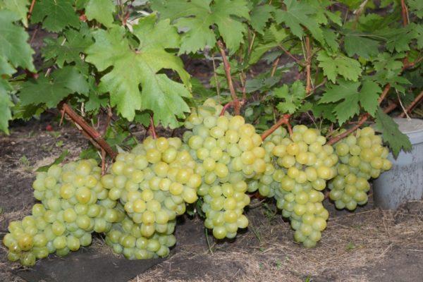 Крупные грозди Валька