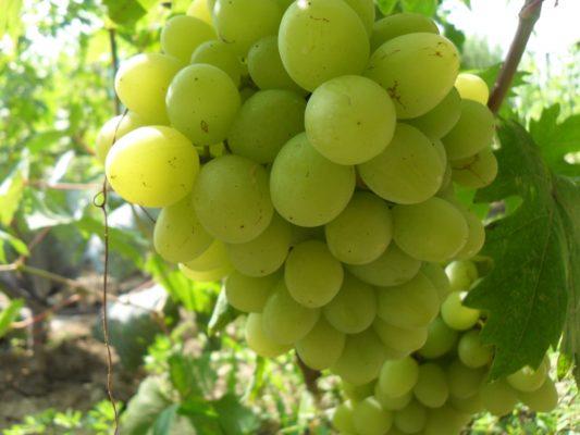 Ягоды винограда сорта Валёк