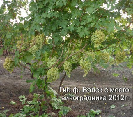 Куст Валька