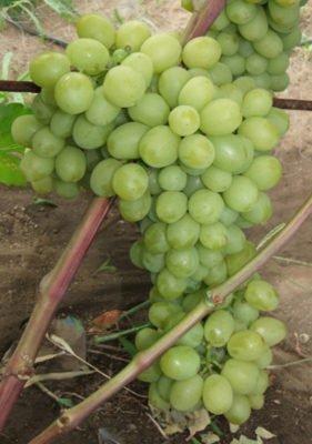 Ягоды на грозди