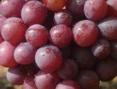 Тёмно-розовые крупные ягоды винограда Арлекин