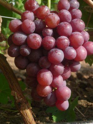 Спелая гроздь сорта Арлекин