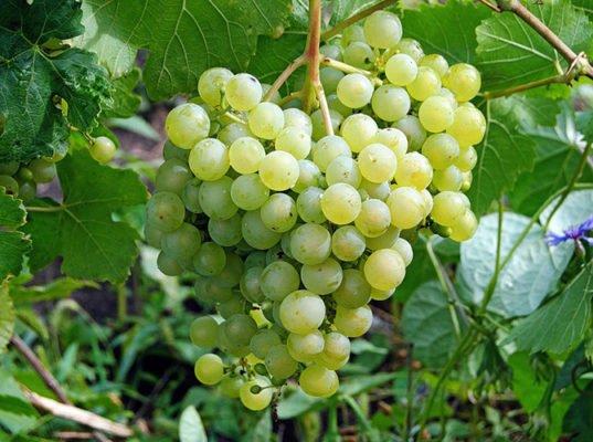 Сорт винограда Алёшенькин дар