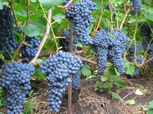 Сорт винограда Памяти Домбковской
